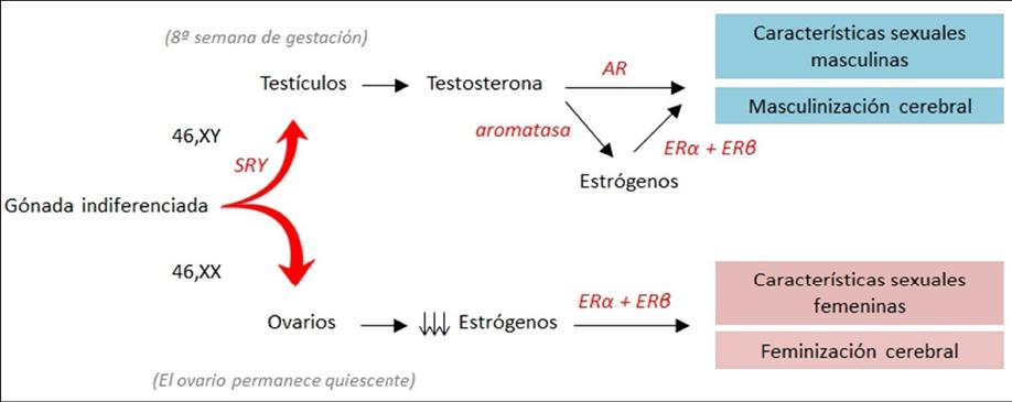Aromatización de la testosterona