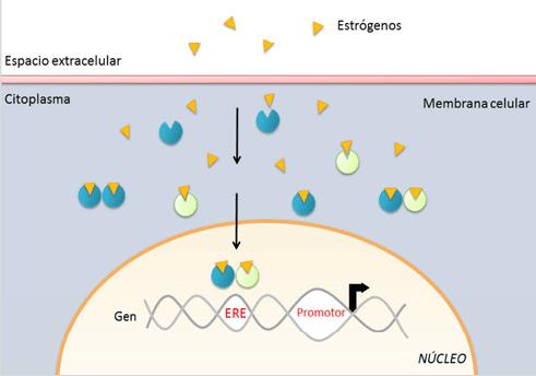 Acción intracelular de los estrógenos